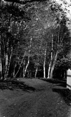 Birches at Park Corner, P.E.I.