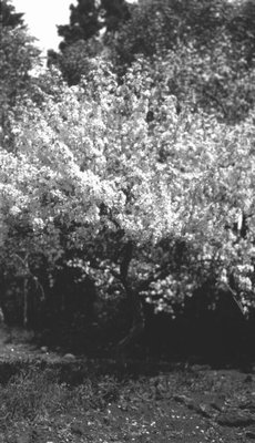 Apple tree, Park Corner, P.E.I.