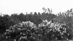 Lilacs at Park Corner, P.E.I.