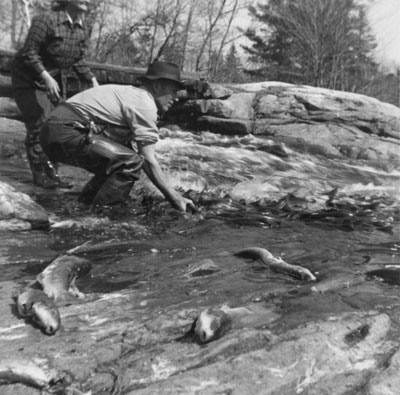 Jim McAmmond Catching Fish Bare Handed, circa 1950