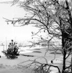 Snow covered tree, Waterloo Lutheran University