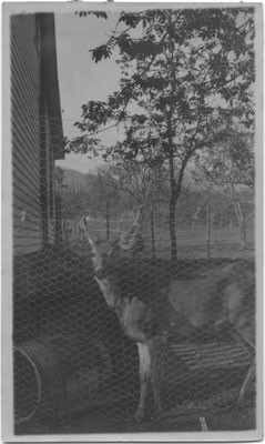 John Lawson's Pet Deer