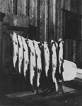 Salmon Caught off Ambleside