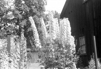 Arthur Wellesley Lynde's Delphiniums, July 8, 1937