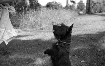 Miss. Phillip's Dog, c.1937