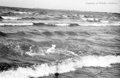 Dog Swimming in Lake Ontario, c.1936