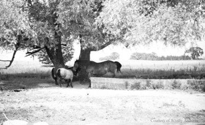 Horses, July 1936