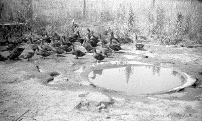 Ducks by a pond, July 1936