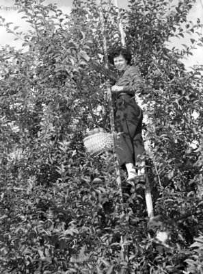 Red Wing Orchards, October 14, 1950