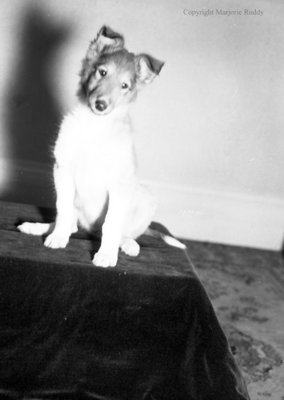 Nine Week Old Puppy, March 18, 1950