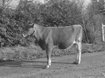 Hendricks Bull, December 8, 1953