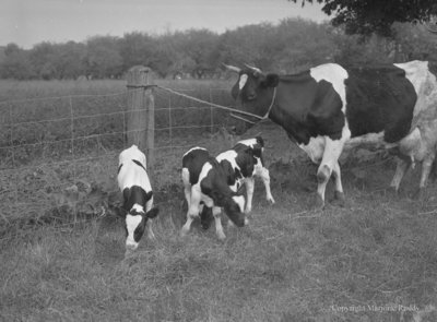 O'Connor Holsteins, June 16, 1953