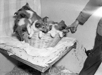 Rowley Collies, February 28, 1950