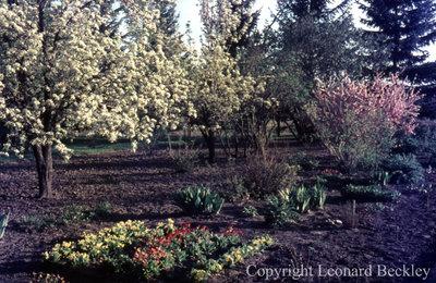 Leonard Beckley's Garden, May 1977
