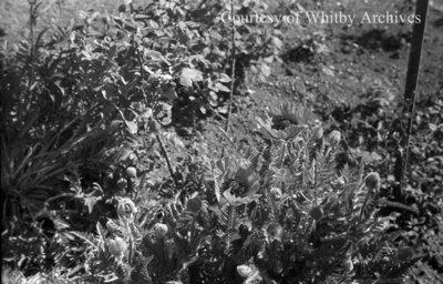 Poppies, May 1939