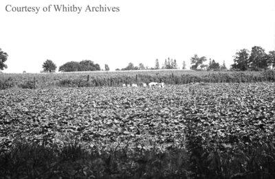 Collins Onion Farm, August 17, 1938