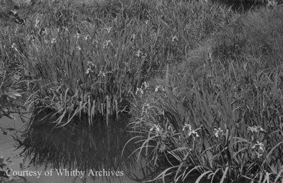 Irises, May 1939