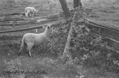 Sheep, May 23, 1938