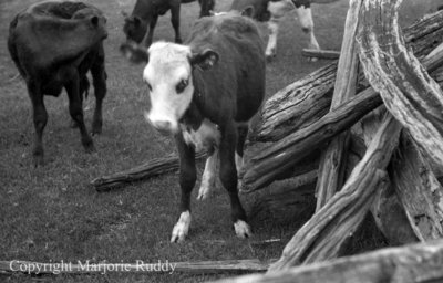 Cattle on a Country Road, May 23, 1938