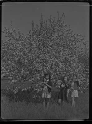 Blossoms at Red Wing Orchards, May 23, 1946