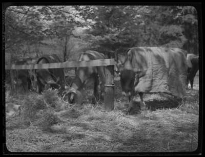 Cattle Show - Jerseys (Image 1 of 5)