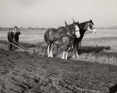 Two men plowing a field at an unidentified farm.