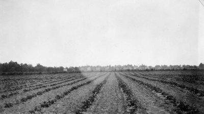 Strawberries at J. Smith's Farm, Burford, Ontario, c. 1923-24