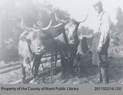 Oxen Used in the Construction of the Lake Erie & Northern Railway