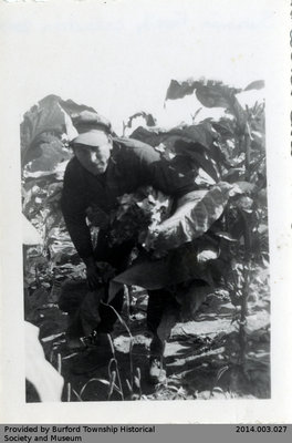 Photo of an Unidentified Man Farming Tobacco