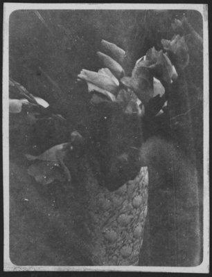 Gladiola from Fettercairn garden