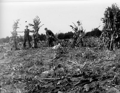Stooking corn on Kelly farm near Lombardy c.1910