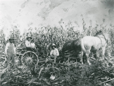 Charlie Chant and Hollis Chant cutting corn c.1945