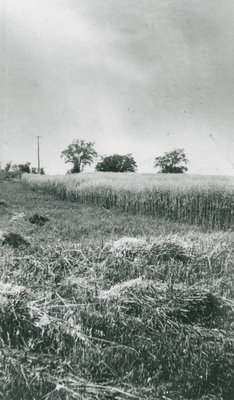 Field Cut by Melbourne MacDonald