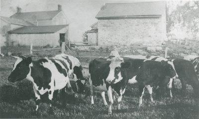 Cows near Delta, Ontario