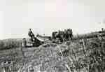 Three horse team pulling a corn binder