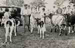Children showing cattle to judges