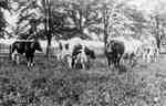 Dairy herd, 1914