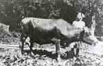 Family cow of S.P. Riddell and Georgina Riddell