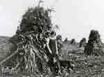 Corn Stooks at Legge farm