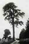 The Wayside Elm