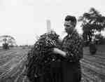 Unidentified Man Inspecting a Peanut Plant, Tillsonburg, ON