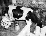 Unidentified Man Milking a Holstein Cow with a Machine, Brant County, ON