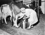 Milk Maid Milking a Cow