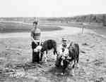 Two Boys with Holding Harnessed Calves