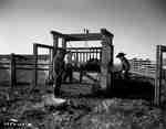 Branding Cattle, Calgary, AB