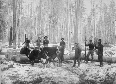 Working oxen and lumberjacks