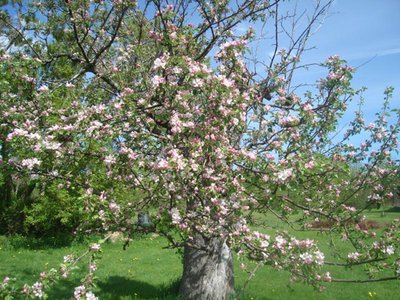 Photograph of oldest apple tree in Cramahe Township