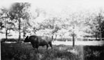 Prize winning bulls of Dr. H.A. McCullough