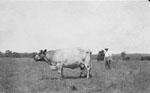 The Bull on the McCullough Farm