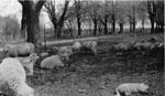 Sheep on the McCullough Farm